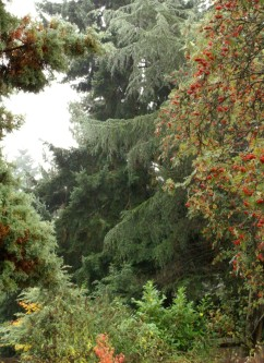Conifer Rain