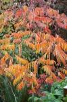 Sumac Autumn