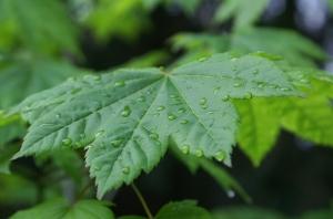 Maple Rain