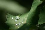 Salal Rain