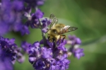 Mason Bee on Lavender