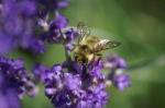 Mason Bee on Lavender