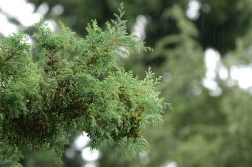 Cypress Rain