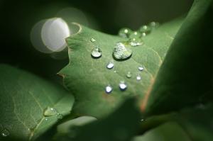 Mahonia after rain